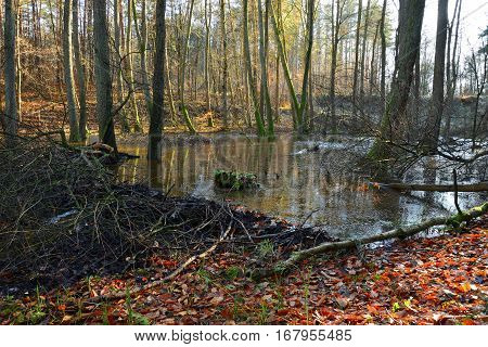 Beavers dam on stream in the autumn forest.