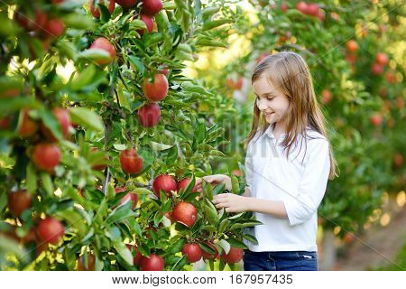 Cute Little Girl Picking Apples In Apple Tree Orchard