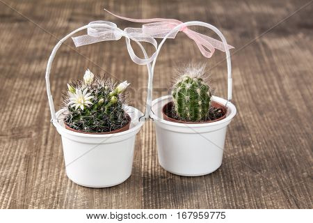 Two cactuses in pots decorated with bows