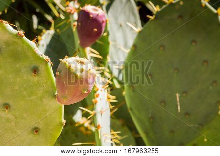 The Prickly Cactus Grow In The Garden During Summer