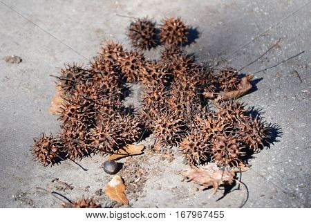 sweet gum tree balls group on parking lot