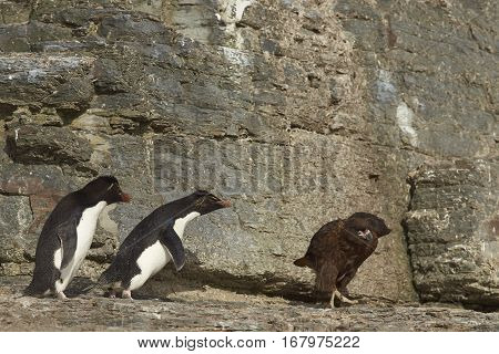 Rockhopper Penguins (Eudyptes chrysocome) head for the sea past a Striated Caracara (Phalcoboenus australis) on the cliffs of Bleaker Island in the Falkland Islands