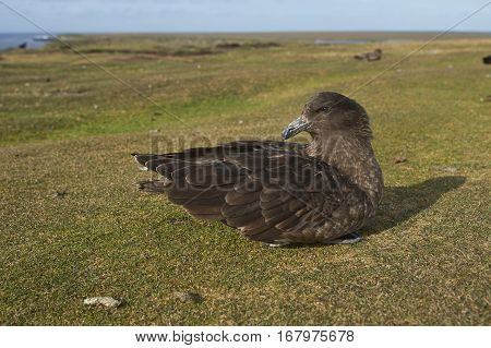 Falkland Skua (Catharacta antarctica) sitting on a grass track on Bleaker Island in the Falkland Islands.