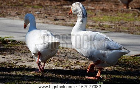 two white ducks walking away webbed foot up