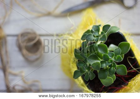 Aichryson Succulent Plant In A Yellow Pot - Home Plant.