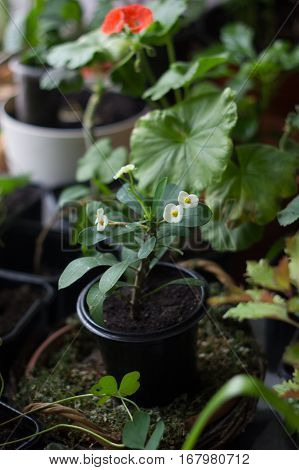 Euphorbia Milii - Home Plant With White Flowers