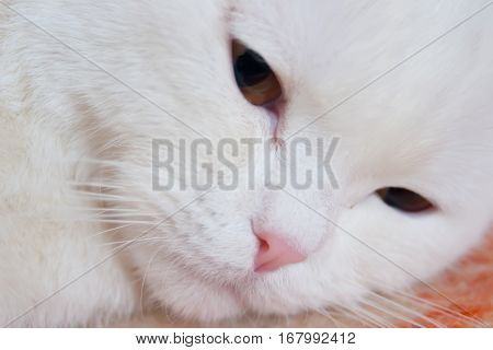 White cat with pink nose closeup on the floor