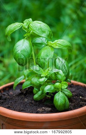 Fresh basil herb in pot growing outside