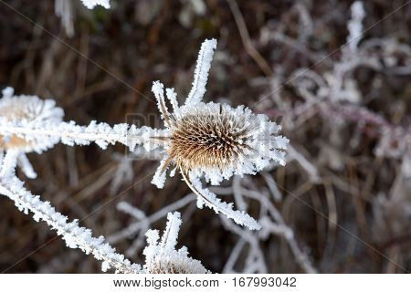 Bur In The Frost.  A Wild Plant In The Snow.