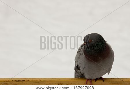 Winter. Dove sits on the tube. Macro photo