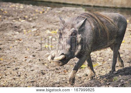 African Warthog Walking