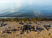 Dead fish from heat on seashore. poster