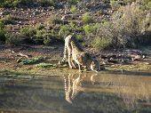 Cheetah and its reflection at a water hole poster
