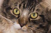 Gato malhado de olhos amarelos e olhar penetrante poster