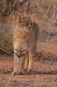 African Wildcat (Felis lybica) in Kalahari Desert poster