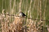 a chipping sparrow on a barbed wire fence poster