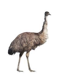 Emu Isolated On White