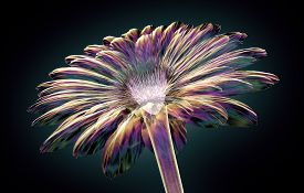 Color Glass Flower Isolated On Black , The Gebera