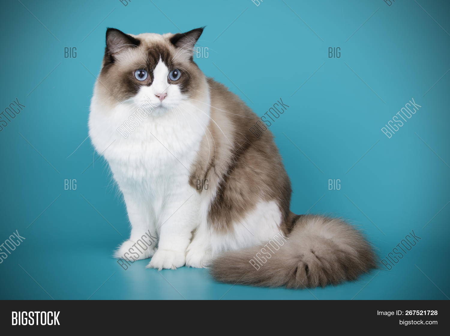 Ragdoll Cat On Colored Image Photo Free Trial Bigstock