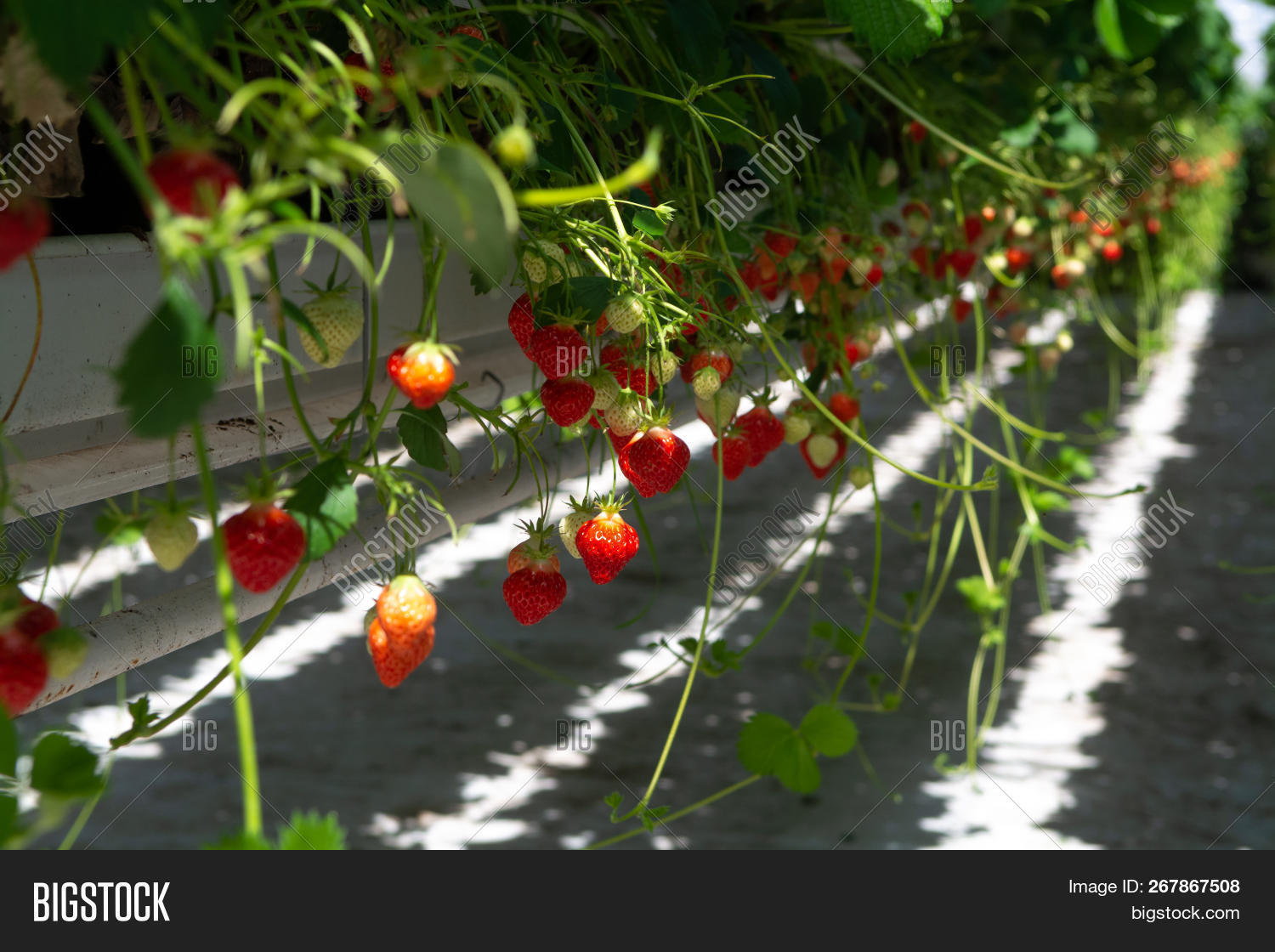 Greenhouse Rows Ripe Image & Photo (Free Trial) | Bigstock