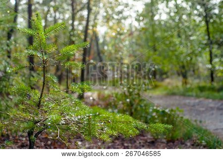 Young Pine Tree Grows In The Shadow Of A Large Imposing Tree In The Dark Forest. Sunlight Shines Rou