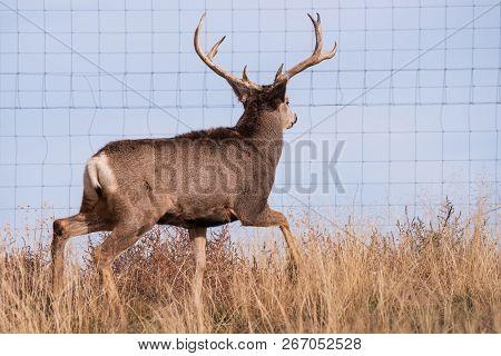 Wild Deer In The Colorado Great Outdoors. Mule Deer Buck Near A Fence