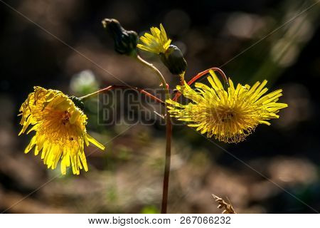 Yellow Flowers. Blooming Flowers. Yellow Flowers On  Grass. Meadow With Rural Flowers. Wild Flowers.