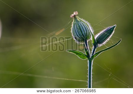 Unblown Flowers. Flower Bud With Spider Web. Flower Bud On A Green Grass. Meadow With Rural Flowers.
