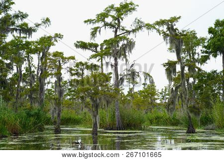 Cypress Trees Covered With Spanish Moss In The Water Of A Bayou In Louisiana