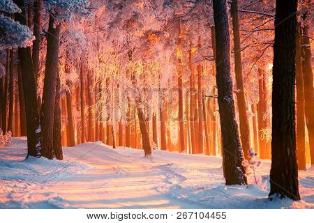 Winter Park With Tall Trees Covered With Frost. Forest With Path Illuminated By Warm Sunlight. Sunny