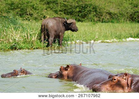 Buffalo and hippos, Kazinga Channel in Queen Elizabeth National Park, Uganda