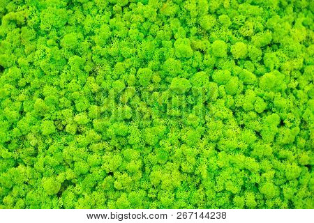 Reindeer Moss Wall, Green Wall Decoration Made Of Reindeer Lichen. Green Moss Texture. Seamless Clos