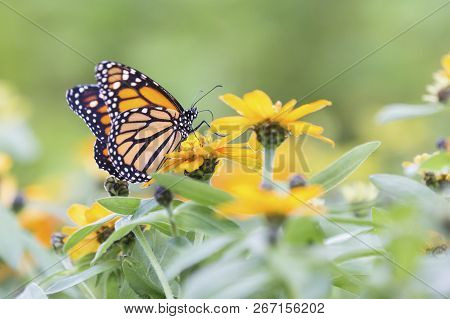Macro Of An Orange And Black Butterfly Sitting On Some Yellow Flowers