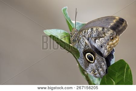 Macro Of A Beautiful Brown Butterfly On A Green Leaf Seen From The Side
