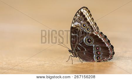 Macro Of A Beautiful Brown Butterfly On A Wet Muddy Surface