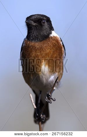 Male Stone Chat Perching On A Thin Twig In The Sun Close-up