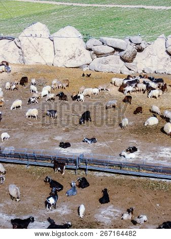 Photo Picture Flock Of Sheep Led By Goats Uphill