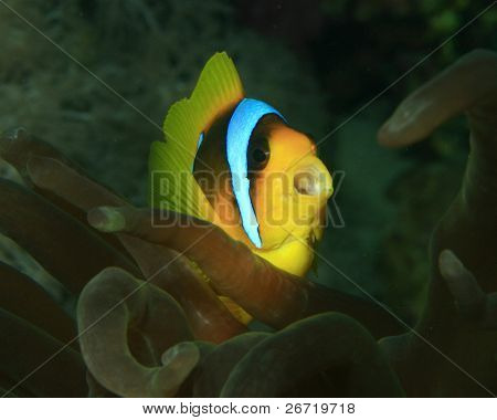 Anemonefish with mouth open poster