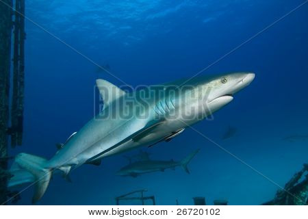 Caribbean Reef Shark on Shipwreck