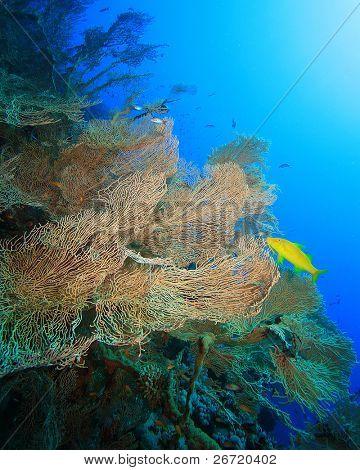 Gorgonian Fan Coral (Annella mollis) and Yellowsaddle Goatfish (Parupeneus cyclostomus) poster