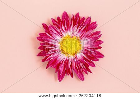Closeup Of Daisy Flower On Pink Background