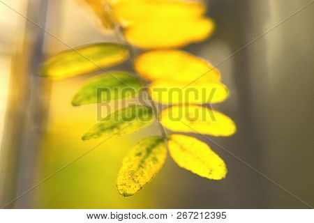 Autumn Leaves Abstract Background. Bright Sunny Day In Meadow Background. Close Up Of Acacia Leaves