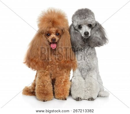 Two Young Cute Groomed Toy Poodles Together On White Background. Happy Dog. Animal Themes