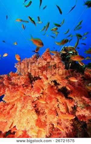 Anthias on Soft Coral poster
