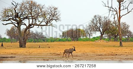 Panoramic View Of A Solitary Roan Antelope - Hippotragus Equinus - Standing Beside A Waterhole In Hw