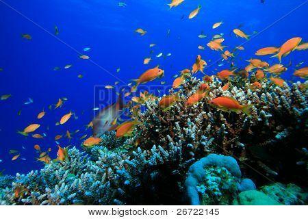 Lyretail Anthias and Acropora Hard Corals poster