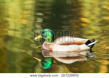 Ducks Swimming In The City Park Lake. Beautiful Sunny Autumn Day. Shallow Depth Of The Field