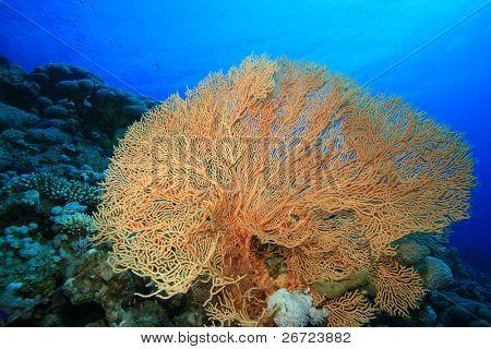Gorgonian Fan Coral poster