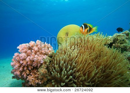 Red Sea Anemonefish with Bubble Anemone and Hard Corals