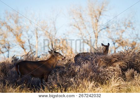 Wild Deer On The High Plains Of Colorado - White-tailed Buck And Doe